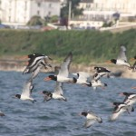 Flock of Oystercatchers in Looe