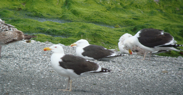 Black Backed Gulls