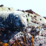 Looe Seal Adult Male