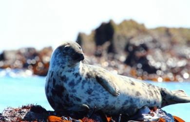 Looe Seal Lucille