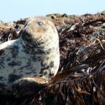 Looe Seal Duchess Banana-ing