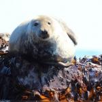 Looe Seal Snowdrop Pregnant
