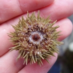 Underside of a Green Shore Urchin