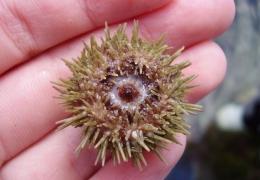 Underside of a Green Shore Urchin