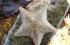 Cushion Starfish found in Looe