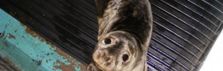 Grey seal pup rescued 6/1/14 at St Ives