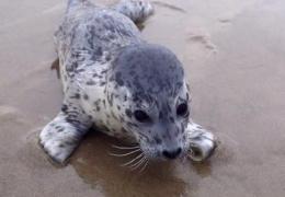 Seaton seal pup rescue
