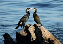 Cormorant and shag