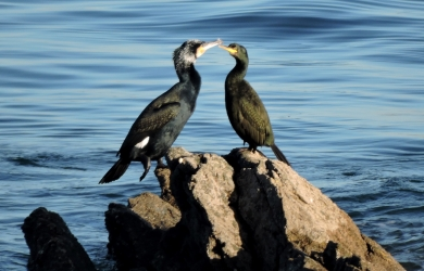 Cormorant and shag