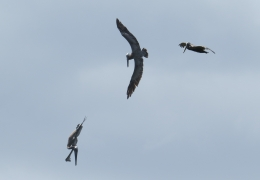 Brown pelicans fishing - Puerto Rico