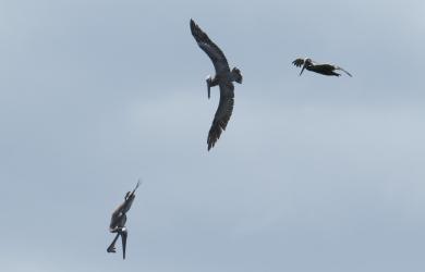 Brown pelicans fishing - Puerto Rico