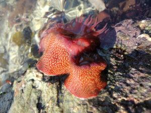 Strawberry anemones