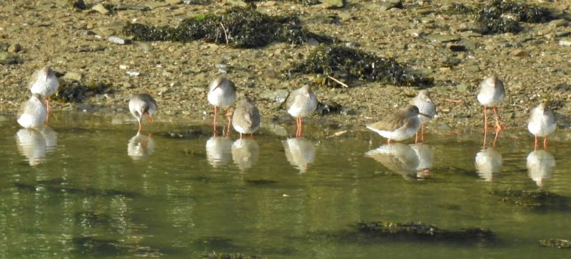Redshanks waiting for the tide