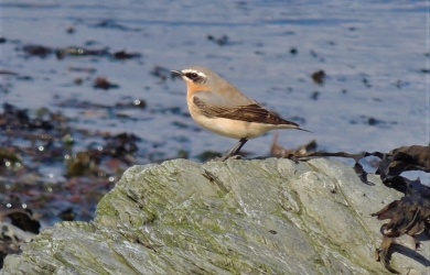 Male Wheatear on migration in April 2013