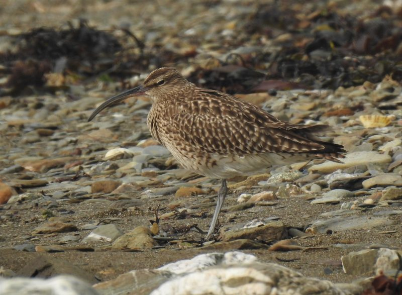 Whimbrel, a study in camouflage