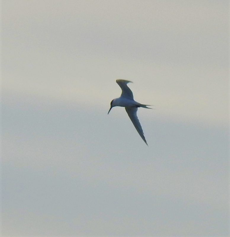 Sandwich Tern in flight