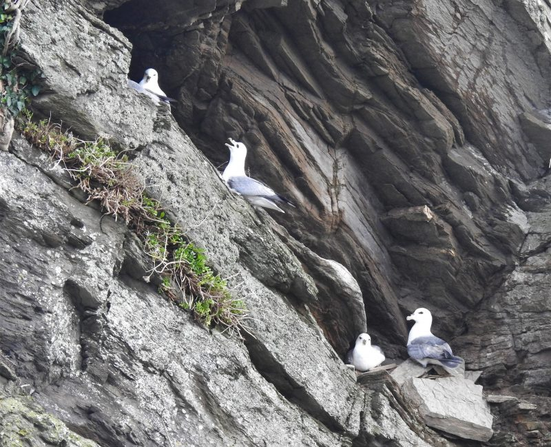 Plaidy fulmar ledges