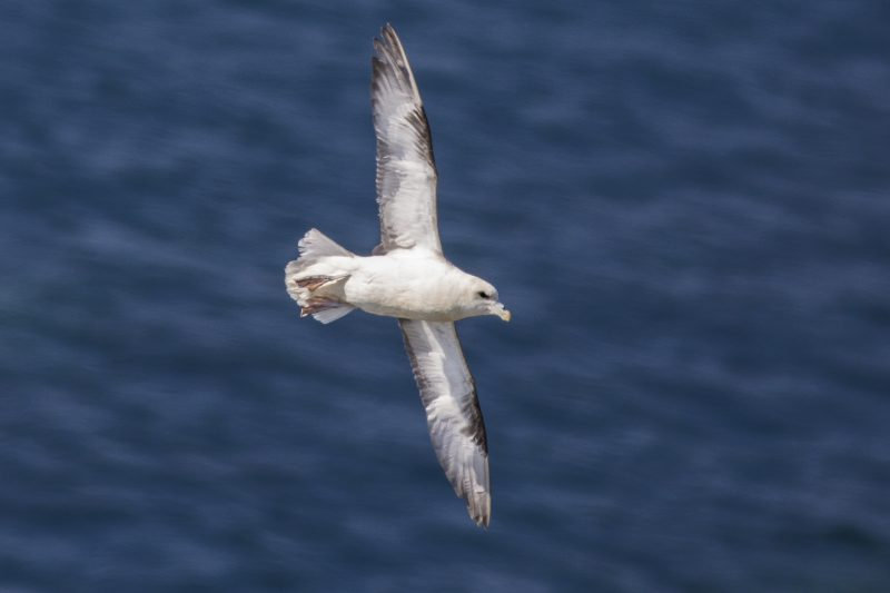 Fulmar in flight. Photo by Paul Lightfoot.