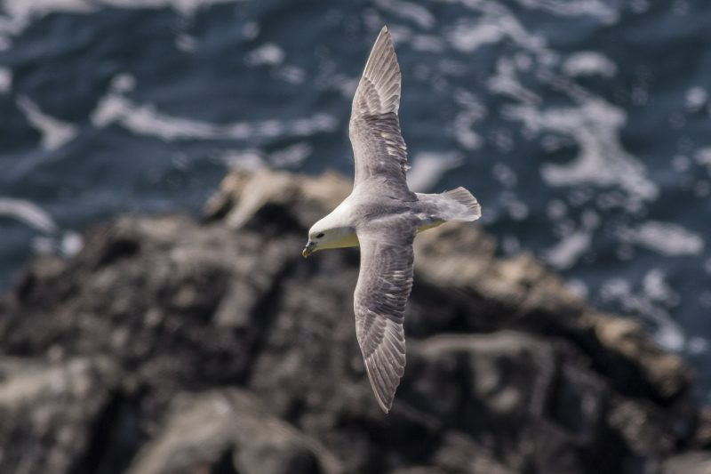 Fulmar in flight. Photo by Paul Lightfoot