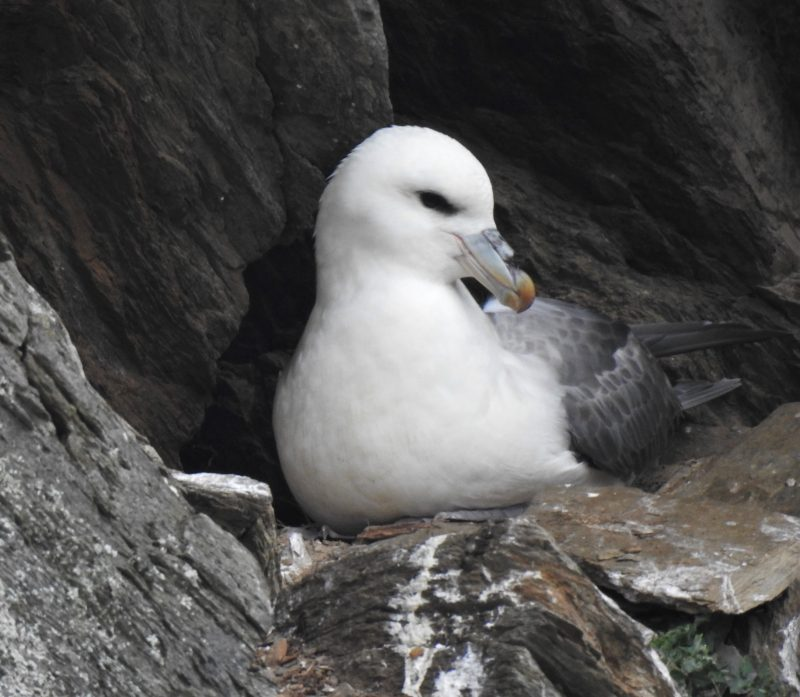 Northern Fulmar, Looe's mini-albatross.