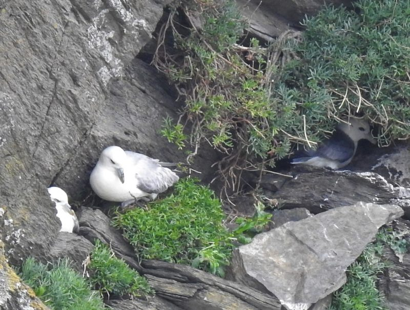 Fulmars taking up positions on the cliff