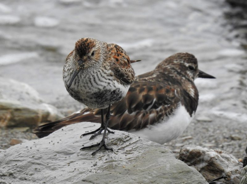 Dunlin and Turnstone