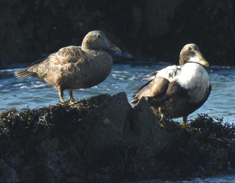 Eiders on the rocks