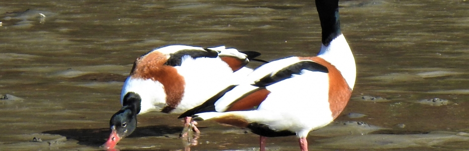 Shelduck pair on the estuary in March