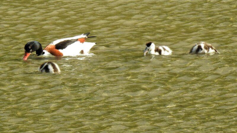 23rd May, Shelduck and three ducklings feeding