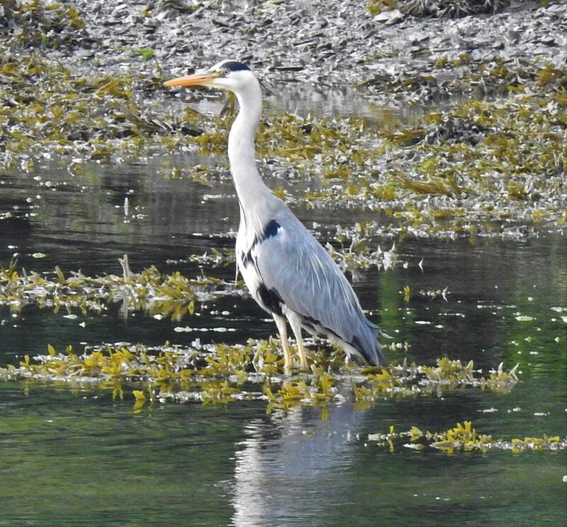 Grey Heron, ducklings beware