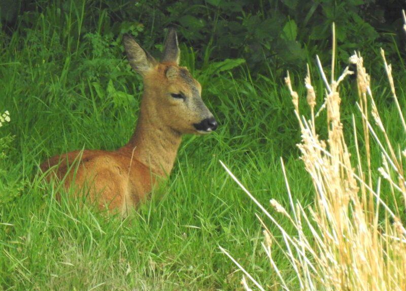 Roe Deer on the bank