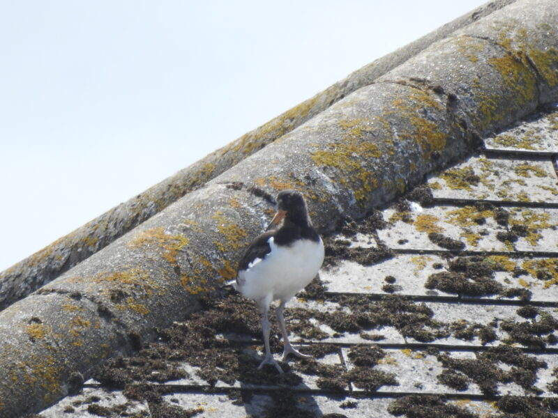 Oystercatcher chick on Wadebridge roof. Photo by Derek Julian