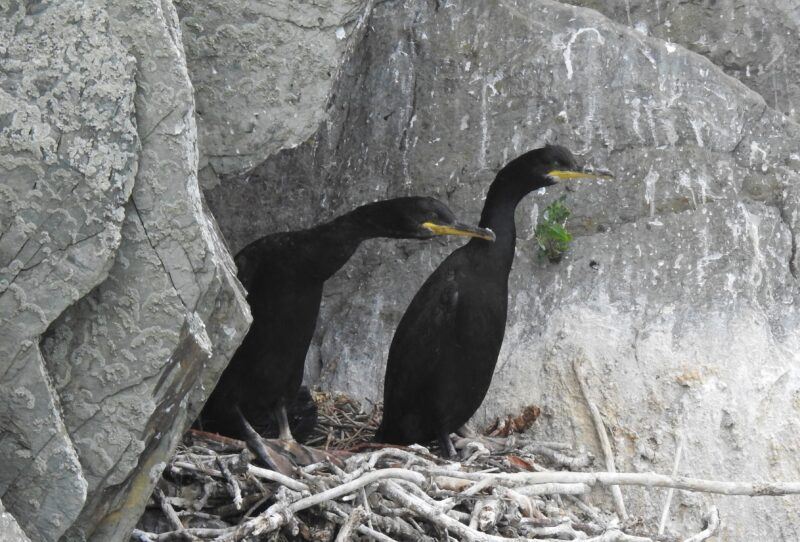 Adult Shags in old Raven nest