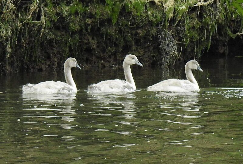 Cygnets 14th July