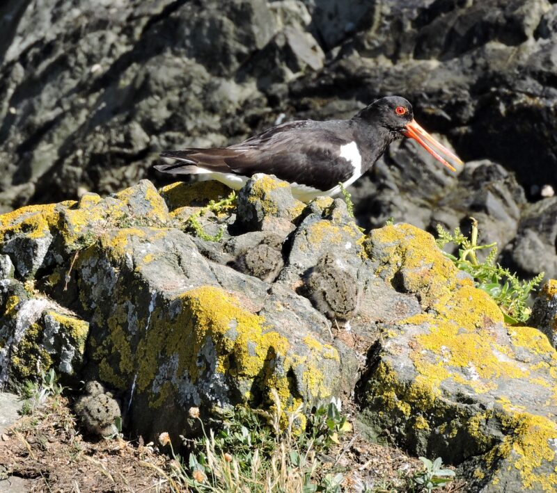 Oystercatcher guarding 3 young chicks, 18th June 2015.