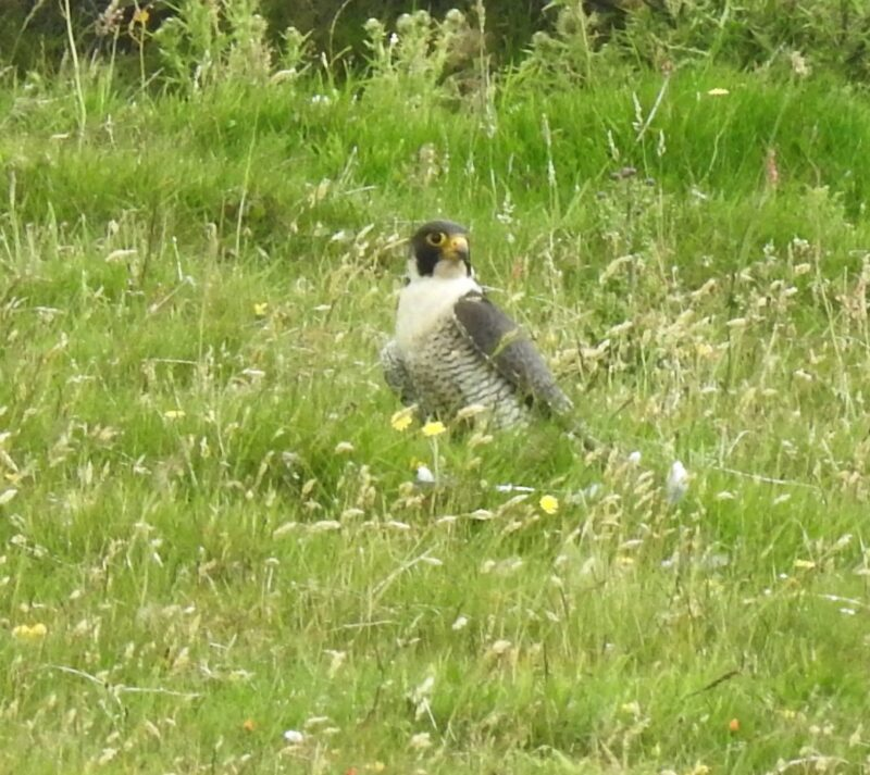 Peregrine on the ground