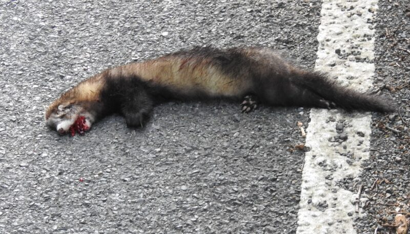 Another victim on the Sandplace Road - Polecat-ferret hybrid