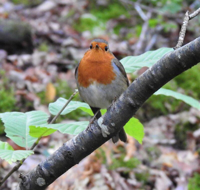 Kilminorth Robin