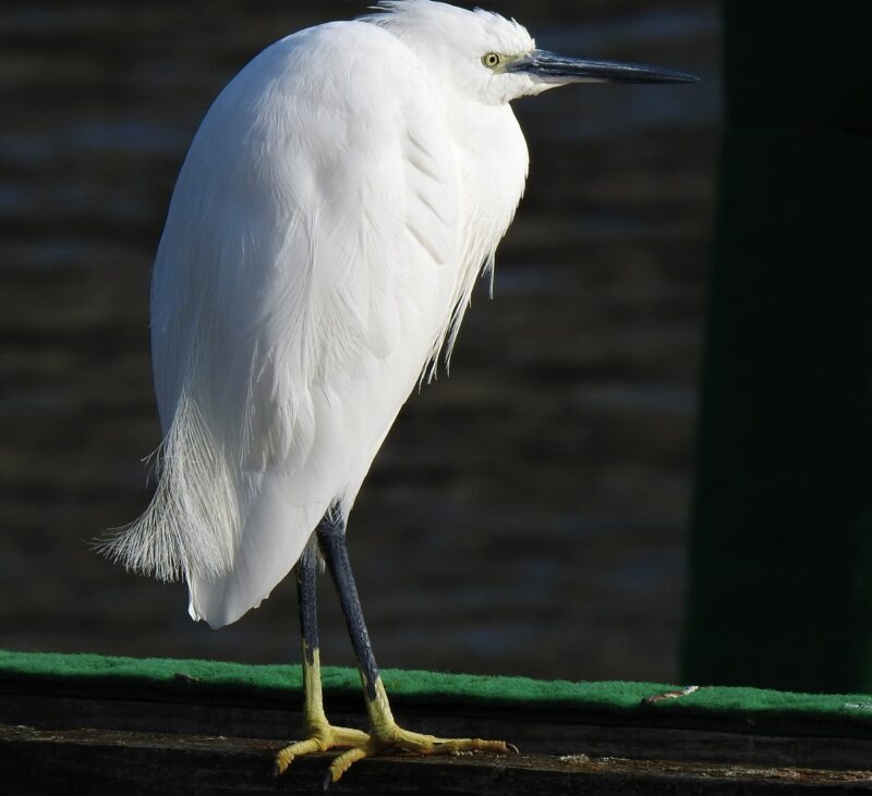 Little Egret, Looe harbour
