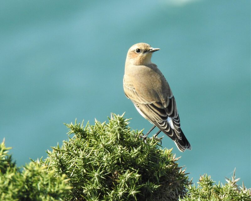 Wheatear on Rame Head