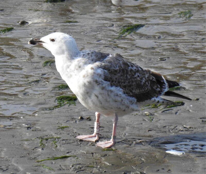 Juvenile Great Black-backed Gull: LDV1