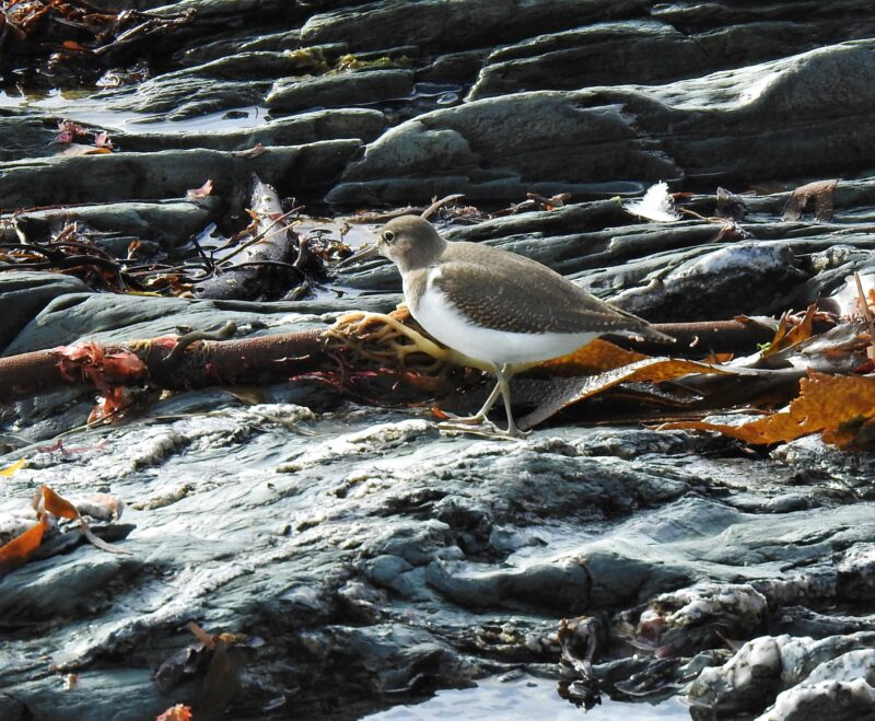 Common Sandpiper on Hannafore