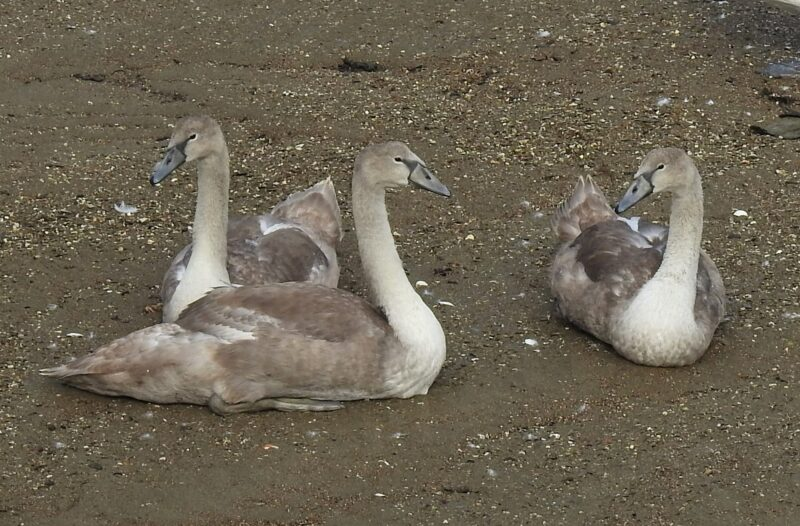 Looe's Ugly Ducklings