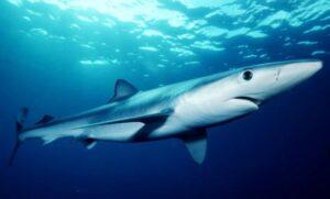 Shark panel
