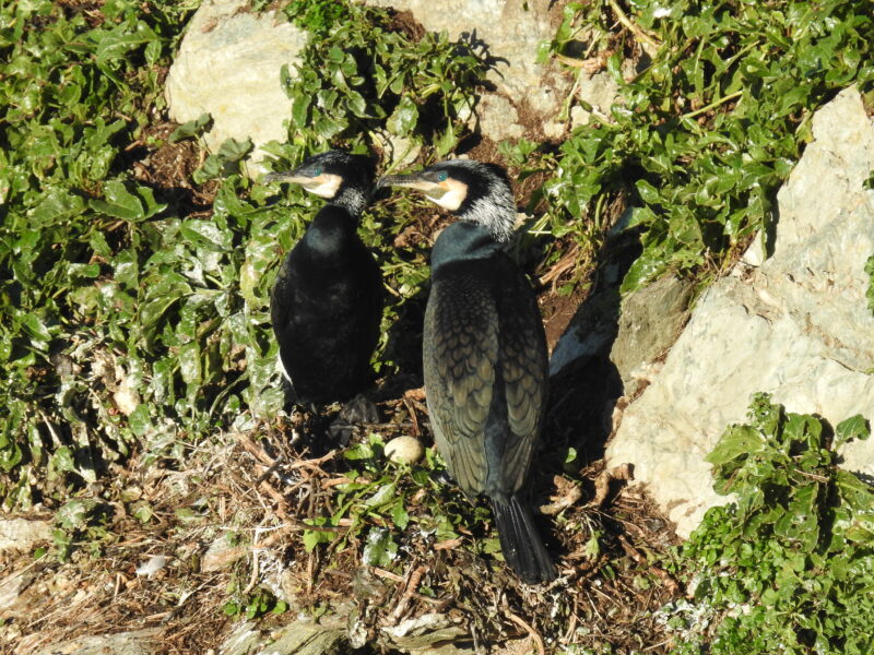 Cormorants with egg on Looe Island Nature Reserve on January 23rd; photo by Claire Lewis