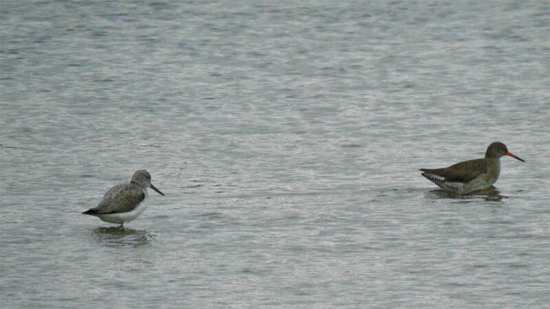 Greenshank and Redshank wading