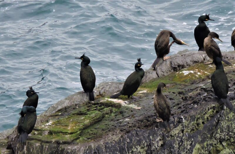 Group of Shags on Looe Island in 2017. The brown birds are immatures.