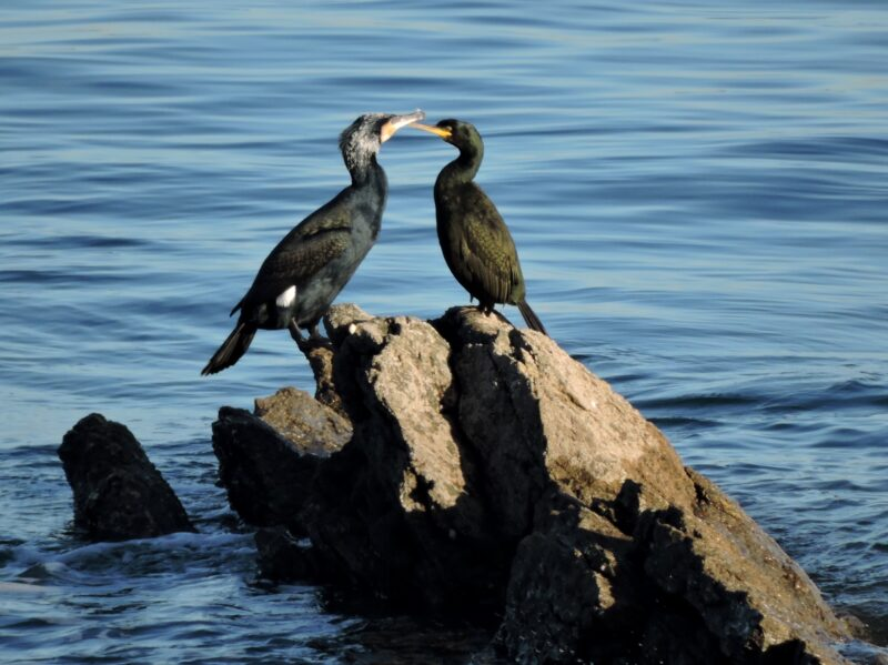 Cormorant and Shag on Hannafore