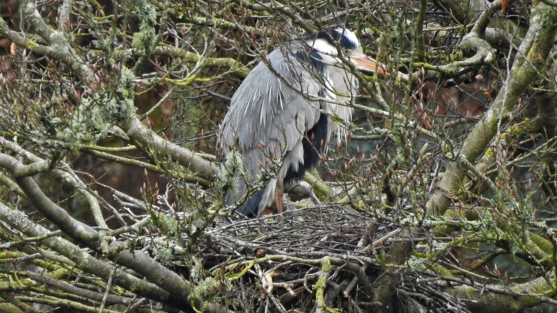 Grey Heron at nest
