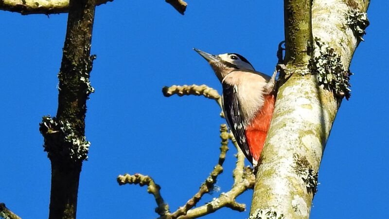 Great Spotted Woodpecker in the Looe valley